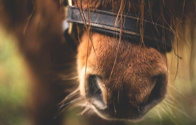 פה של סוס