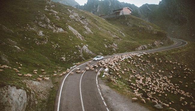 כבשים חוצות כביש באין מפריע