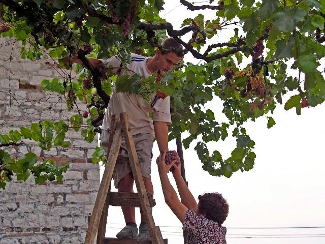 בציר ענבים בבראט