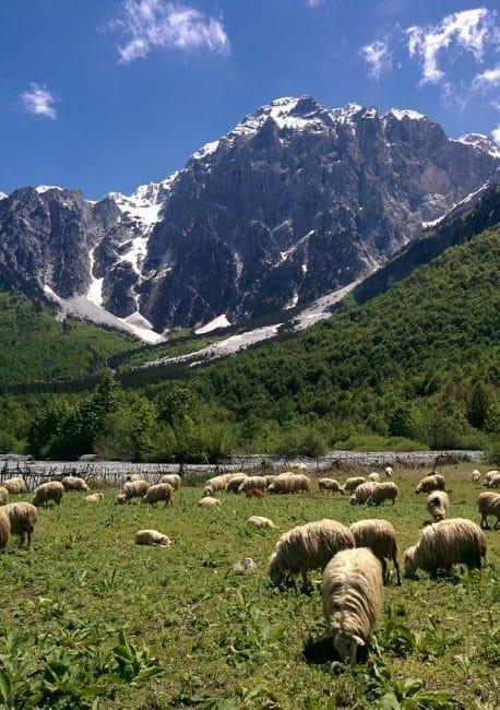 כבשים בעמק וולבונה ליד Dragobia